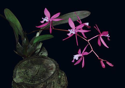 Soul039s_Grief_Release_orchidea_eszencia_ANYA
