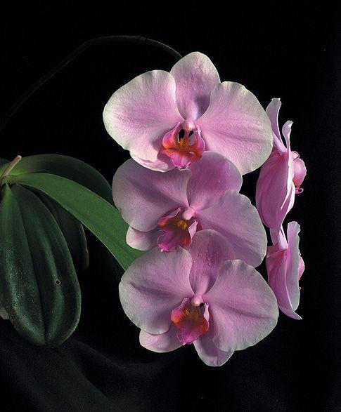 Temple_of_Light_osszetett_orchidea_eszencia