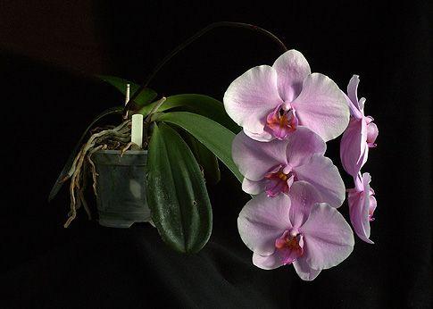 The_Wisdom_of_Compassion_orchidea_eszencia