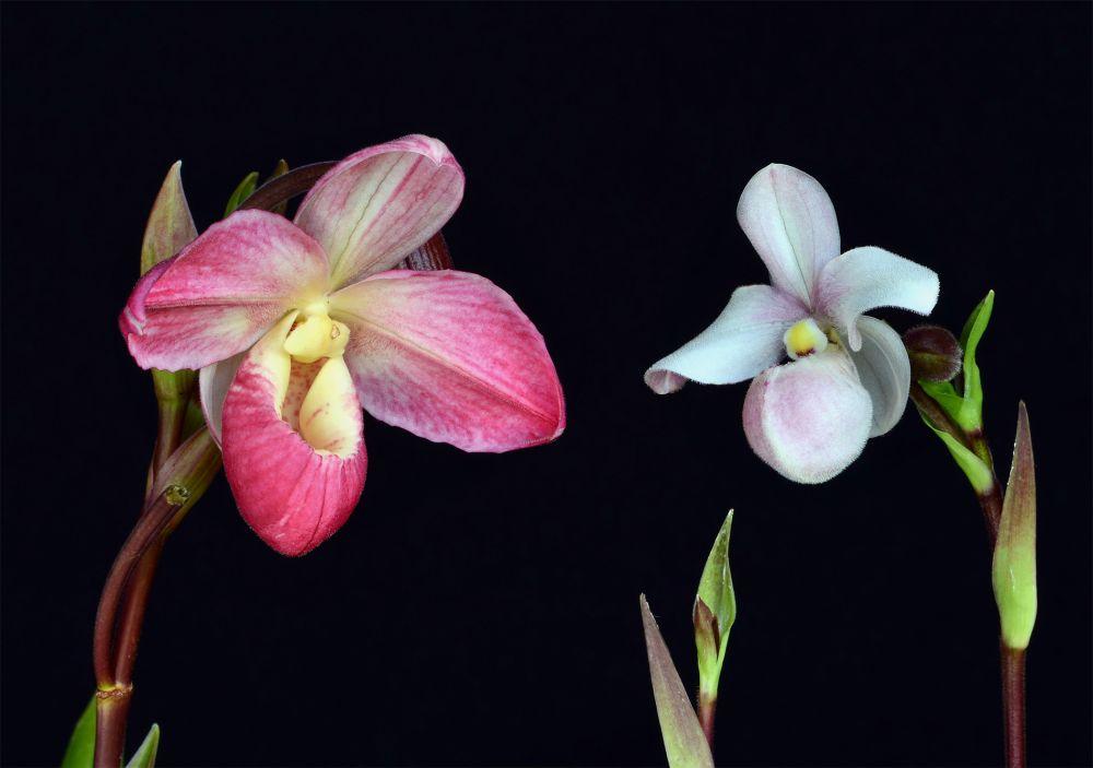 Unconditional Love orchidea eszencia