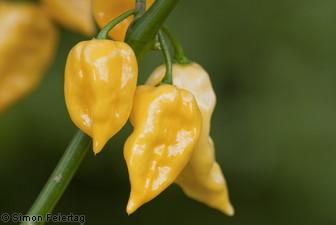 Habanero Hot Lemon chili