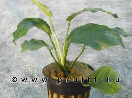 Ammania_gracilis